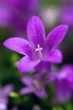 Schauen Sie auf Blume der Glockenblume Stockfoto