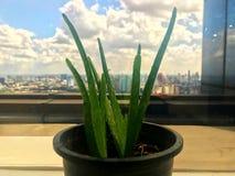 Schauen Sie durch Aloe Vera stockfotografie