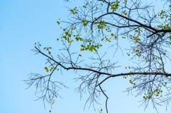 Schauen Sie durch unter dem Baum Ficus religiosa Stockfotos