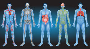 Schauen Sie inneren menschlichen Körper Lizenzfreie Stockfotografie