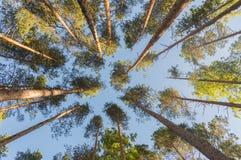 Schauen Sie oben die Stämme der Kiefer und des Himmels Stockfotos