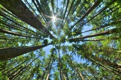 Schauen Sie oben in einem dichten Kiefernwald Stockfotografie