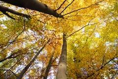 Schauen Sie oben im Herbstwald? Lizenzfreies Stockfoto