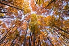 Schauen Sie oben im Herbstwald? Lizenzfreies Stockbild