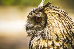 Schauen Sie, schöne Eule mit intensiven Augen und schönes Gefieder Stockfoto
