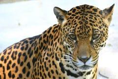 Schauen Sie vom Jaguar lizenzfreie stockbilder