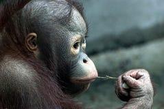 Schauen Sie vom kleinen Orang-Utan (Pongo pygmaeus) Lizenzfreies Stockbild