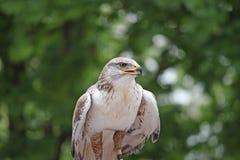 Schauen Sie von einem Falken, der nach einem möglichen Opfer sucht Stockbilder