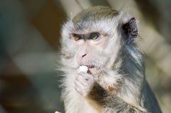 Schauen Sie von einem Makaken, der in einem Stift crabier ist Lizenzfreie Stockfotos