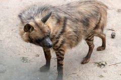 Schauen Sie zurück-gestreifte Hyänen Stockfoto