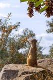 Schauen von surikata Lizenzfreie Stockbilder