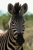 Schauen von Zebra Stockbild