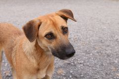 Schauender Brown-Hund, Hundeporträtabschluß herauf asiatisches thailändisches Tierhaustier stockfotos