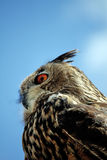 Schaukeln Sie Adler-Eule Lizenzfreie Stockbilder