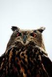 Schaukeln Sie Adler-Eule Stockfoto