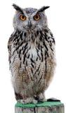 Schaukeln Sie Adler-Eule Stockfotos