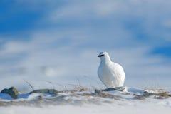 Schaukeln Sie Alpenschneehuhn, Lagopus mutus, der weiße Vogel, der auf Schnee, Norwegen sitzt Kalter Winter, nördlich Europas Sze lizenzfreie stockfotos