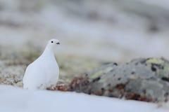 Schaukeln Sie Alpenschneehuhn, Lagopus mutus, der weiße Vogel, der auf dem Schnee, Norwegen sitzt Stockfotografie