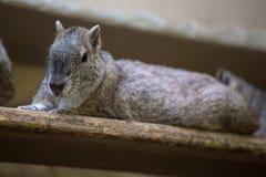 Schaukeln Sie den Cavy (Kerodon-rupestris) sitzend auf einem hölzernen Brett Stockfotos