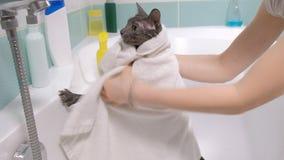 Schaumbad eine kleine Grauumherirrenderkatze, Frau wäscht die Katze im Badezimmer wischt das Tier mit einem Tuch ab stock video