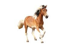 Scheckiges Pferd, das frei lokalisiert auf Weiß galoppiert Stockbild