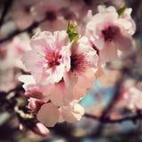 Scheda dell'annata con i fiori del fiore di ciliegia Fotografia Stock Libera da Diritti