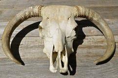 Schedel en hoornen van een rundvleesstier Stock Foto