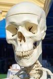 Schedel van een anatomisch model royalty-vrije stock fotografie