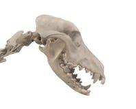Schedel van een geïsoleerde hond. Stock Foto