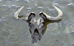 Schedel van het meest wildebeest in modder in ondiep water Meer Natron tanzania royalty-vrije stock afbeeldingen