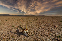 Schedel van reeën op steenachtige grond in de woestijn Stock Foto