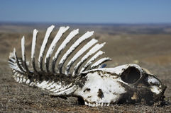 Schedel in Woestijn Stock Fotografie