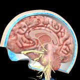 Schedellagen en hersenen Stock Foto's