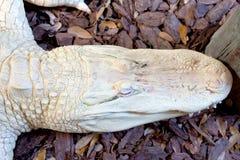 Schedelmening van Albino Aligator royalty-vrije stock afbeelding