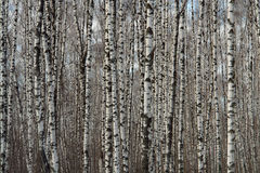 The schedule of birches. Royalty Free Stock Images