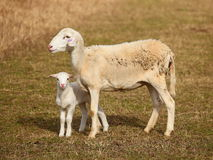 Scheep con l'agnello Immagini Stock
