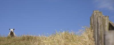 Scheep en una colina Imagenes de archivo