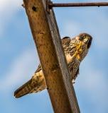 Scheermesuiteinde Peregrine Falcon stock afbeeldingen