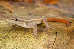 Scheffler's dwarf gecko Royalty Free Stock Photography
