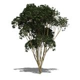 Schefflera actinophylla (autumn) Royalty Free Stock Photos
