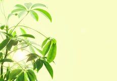 Schefflera Arboricola με τις ακτίνες ήλιων Στοκ Φωτογραφίες