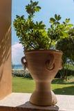 Schefflera (arboricola Brassaia) που αυξάνεται στο δοχείο Στοκ Φωτογραφίες