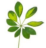 Schefflera arboricola leaf. Isolated on white background Royalty Free Stock Photo