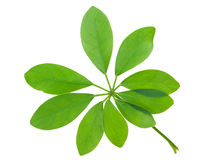 Schefflera arboricola leaf Royalty Free Stock Photo