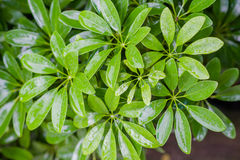 Schefflera arboricola, naturalny tło zdjęcia royalty free