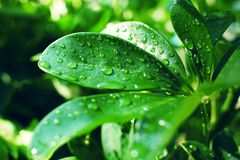 Schefflera arboricola smooth thick green leaves covered with raindrops in the sunlight royalty free stock photo