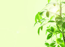 Schefflera Arboricola With Sun Beams Stock Photos