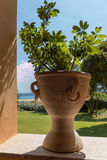 Schefflera (Brassaia-arboricola) wachsend im Topf stockfotos