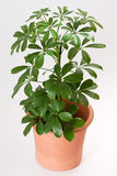 Schefflera house plant Stock Images