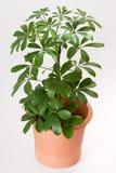 Schefflera house plant. Schefflera arboricola house plant in flower pot stock images